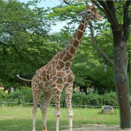 A giraffe standing near a tree.