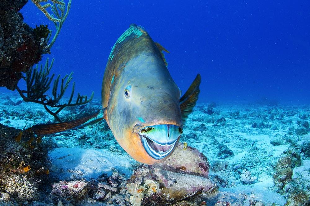 parrot fish cozumel mexico