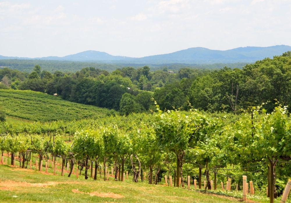vineyards in tbiisi